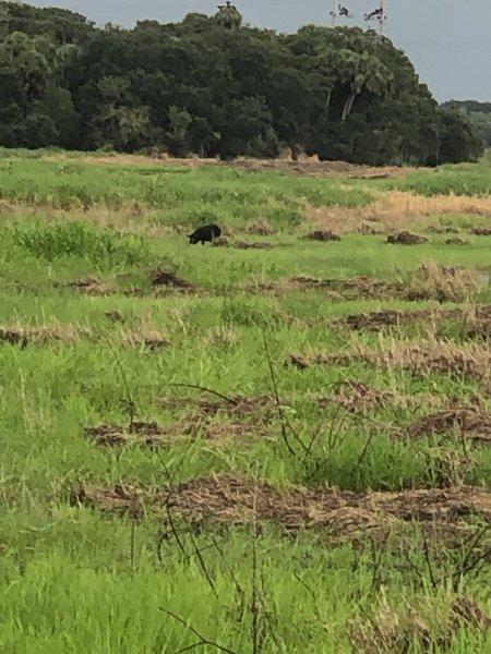 Mid August 2020 wild hog