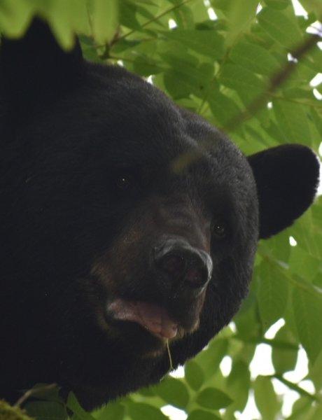 Mama bear in a tree