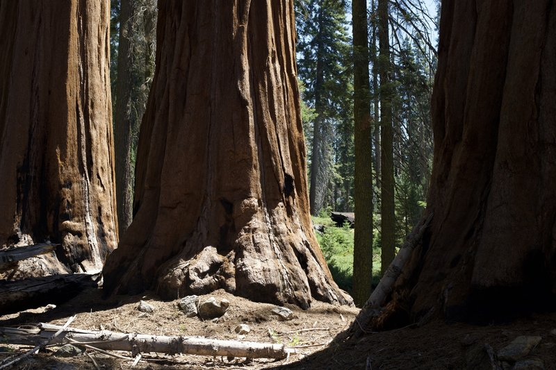 Even though the trail features the Dead Giant, you can get up close with other Giant Sequoias.  They're everywhere!