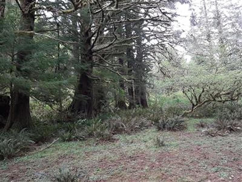A meadow with large, old sitka spruce trees on the edges.