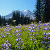 Huge fields of lupines can be found at the top of Divide Camp Trail.