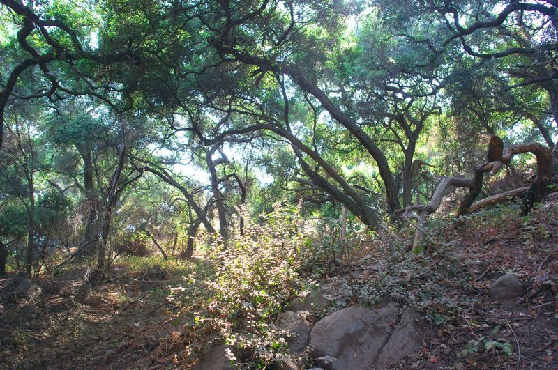 Oaks and rhododendrons along Marshall Canyon Trail.