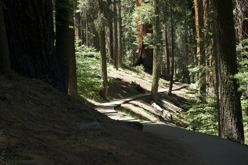 The Alta Trail wanders beneath the shade of Giant Sequoias and other large evergreen trees. It is packed dirt and gravel at this point, making hiking easy.
