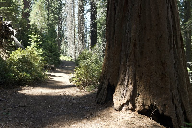 The Old Bear Hill Road Trail is a wide trail that climbs through the Giant Forest before descending back toward the road and museum.