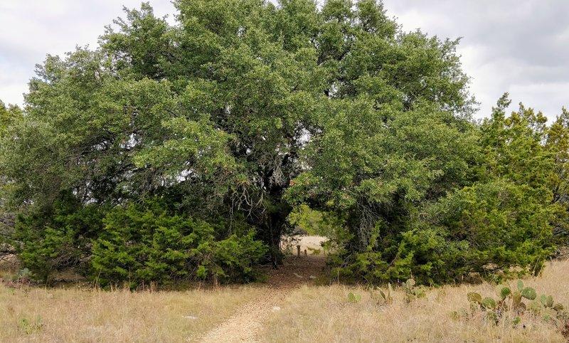 Cedar Chopper Trail cutting right through a large tree.