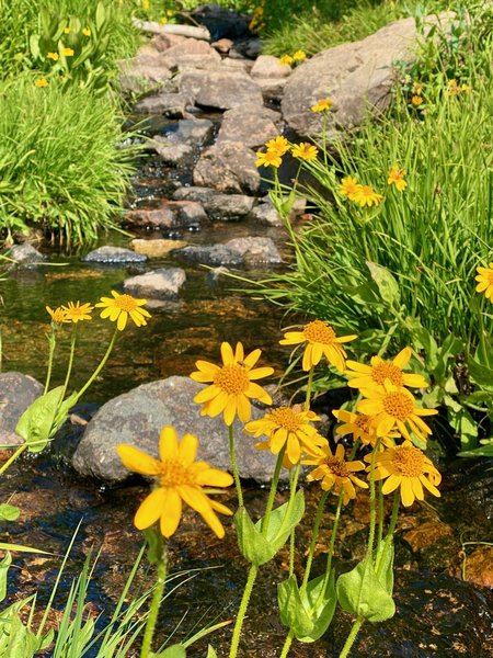 Wildflowers at Pitkin Creek