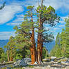 There are many Western Junipers scattered along the top of the ridge leading up to Arch Rock