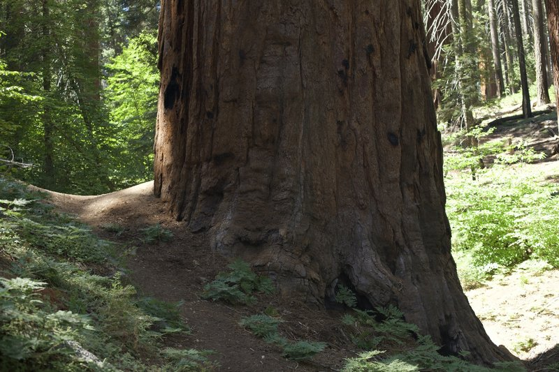 The trail crosses the road by a Giant Sequoia Tree, allowing you to get up close to one of these giants without even leaving the trail.