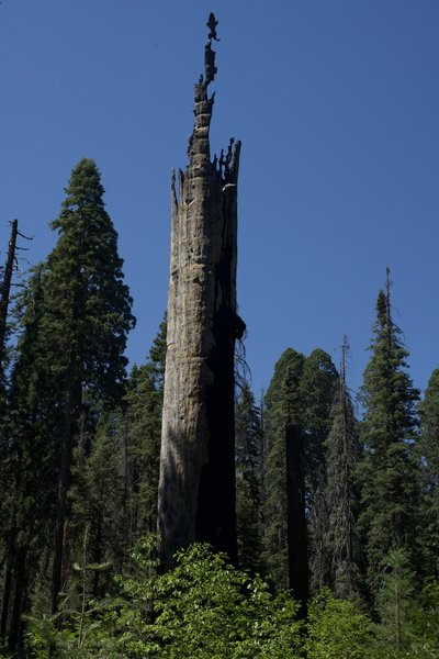 A damaged giant sequoia standing defiantly against mother nature.