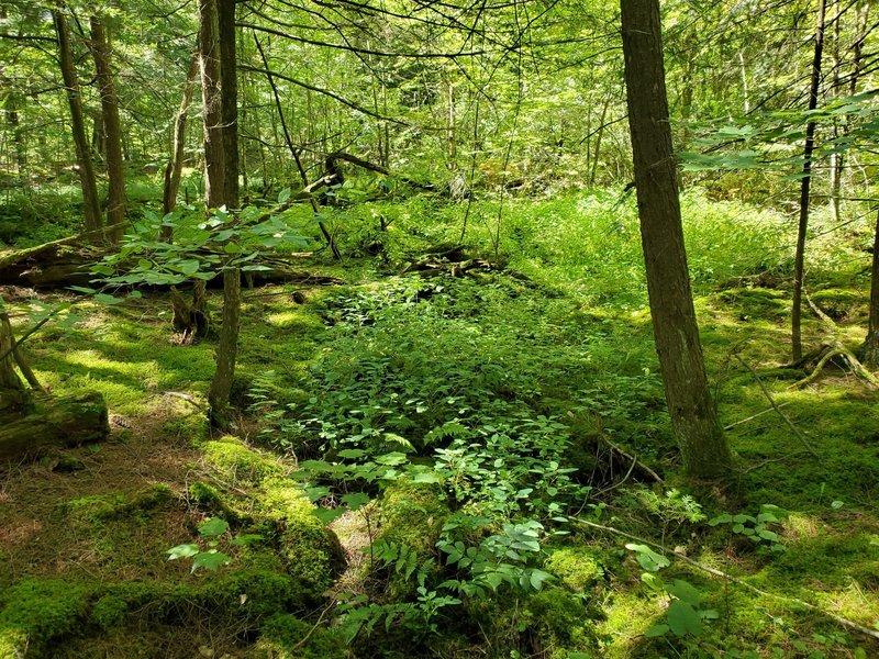 Verdant undergrowth on Hemlock Trail.