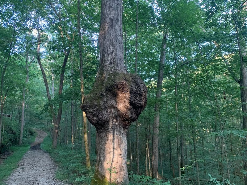 A cool burl on an ascent, leaving the creek not too far back. Most of the trail from this point on is gravel and wider than singletrack.