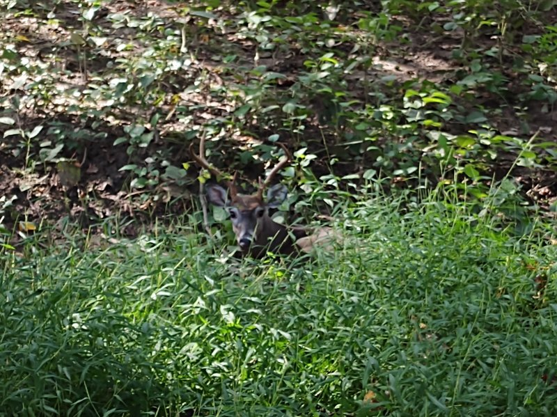 There's a number of deer that make there home in the woods along the trail.