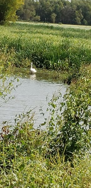 Blurry photo of a motionless trumpeter swan. Or bigfoot.