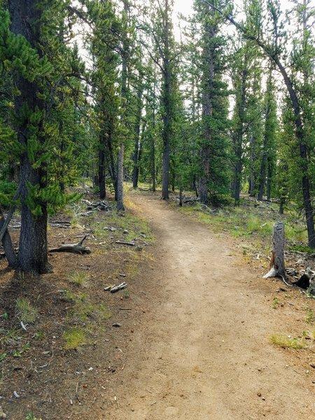 Traversing through the pines.