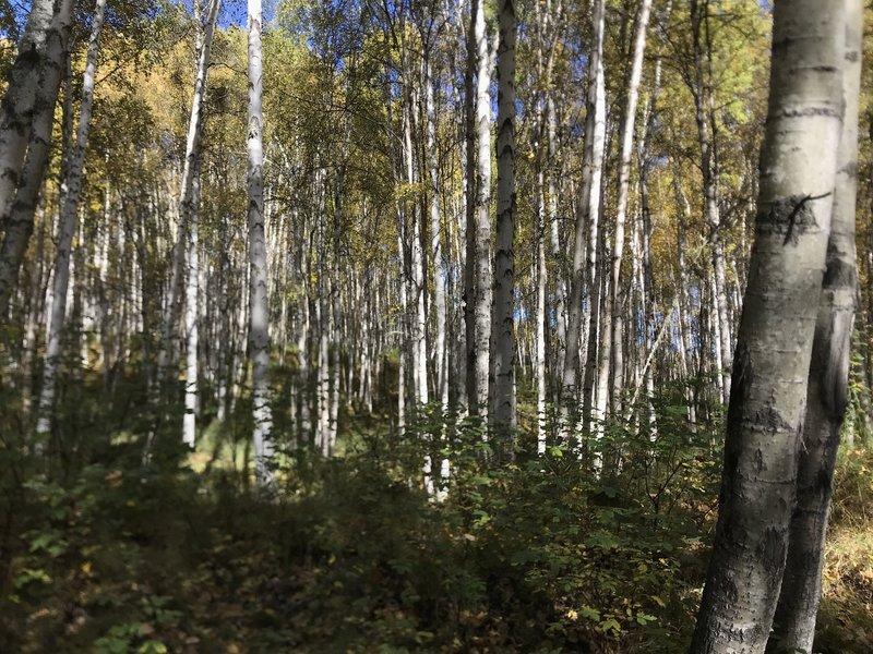 White birch tree forest... everwhere!