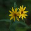 Wildflower on the Dune Ridge Trail - Indiana Dunes National Park