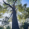 Enormous slash pine