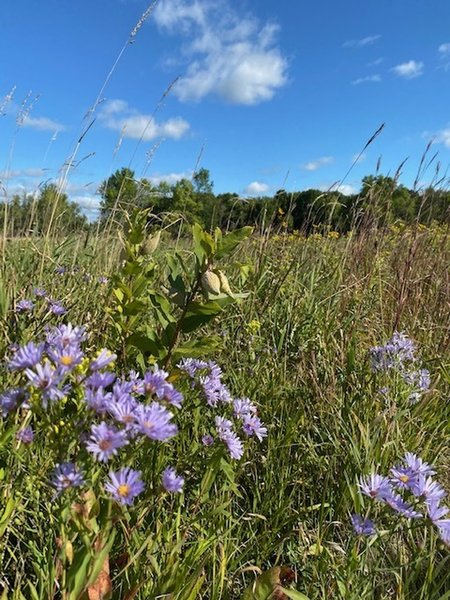 The park has lots of wildflowers and grasses including prairie coreopsis, coneflowers, iris, sunflowers, prairie rose, butterfly weed, black and brown-eyed Susan, switch grass, bluestem, Canada wild rye and wheatgrass.