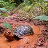 Apparently Box Turtles just do this for kicks