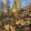 Aspens in Squaw Creek