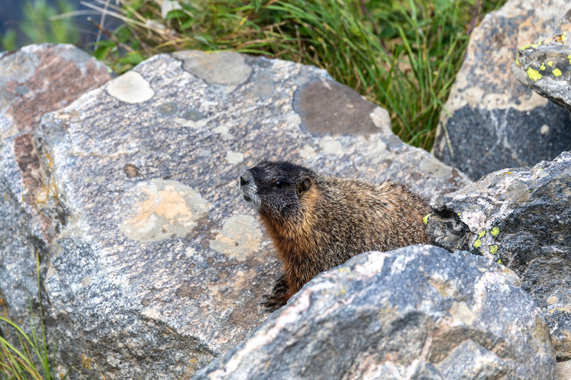 A Hoary Marmot in Death Canyon