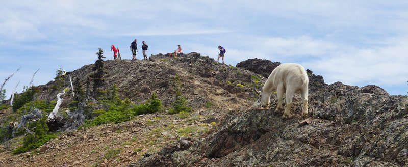 A mountain goat below the summit of Miller Peak.