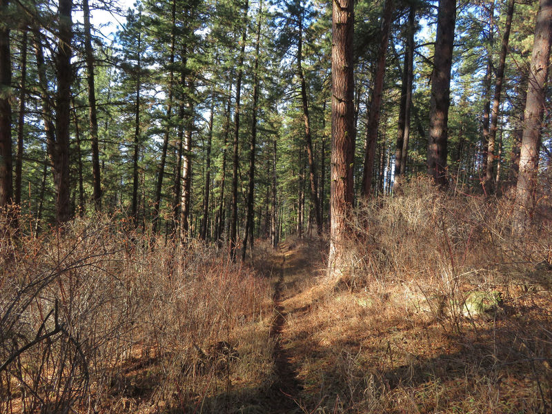 Looking back down Blue Ridge Trail as it steadily climbs through a forest of Ponderosa Pine and Douglas-Fir.