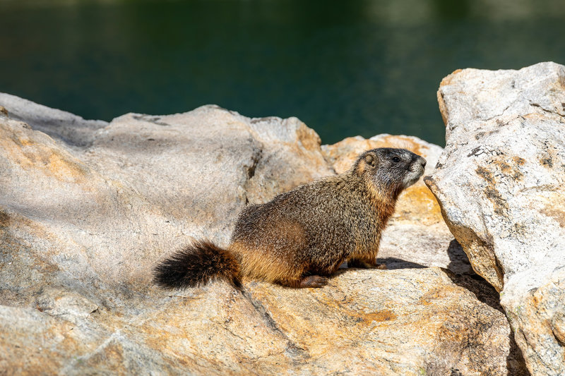 A Hoary Marmot at Surprise Lake