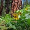 Arrowleaf Balsamroot along the Wikiup Creek Trail.