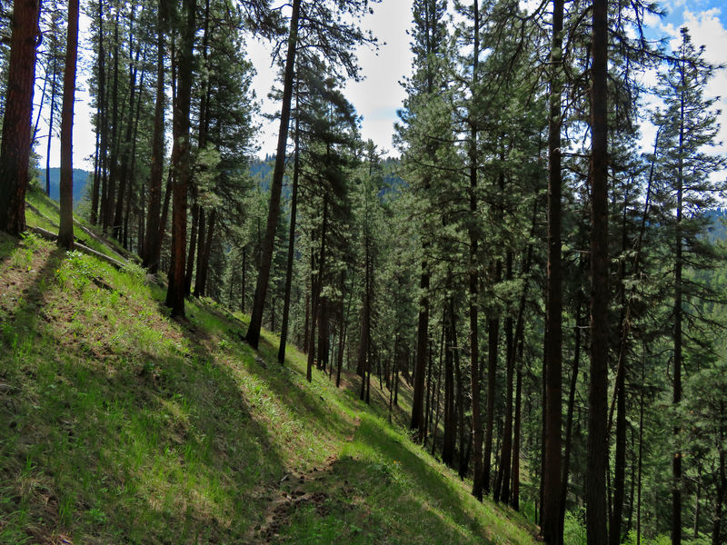 The Wikiup Creek Trail leads through sunny, open forests of Ponderosa Pine.