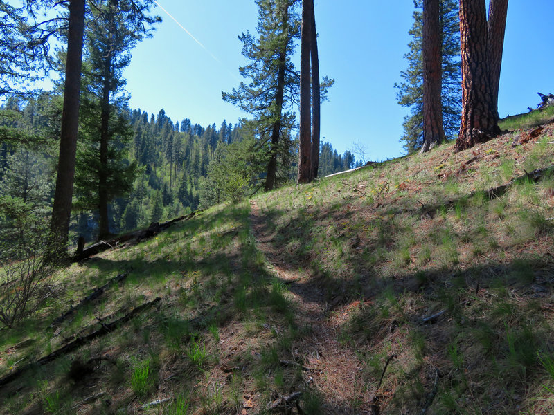 The Cougar Creek Trail climbs through a forest of Ponderosa Pine.