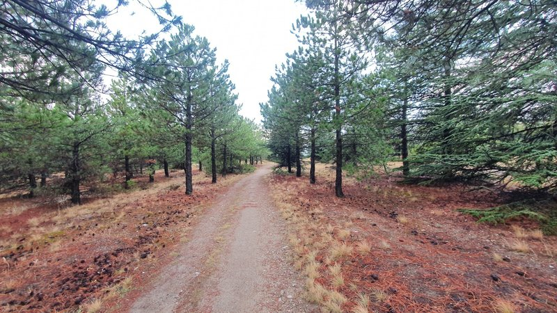 Lonely trail between pine trees.