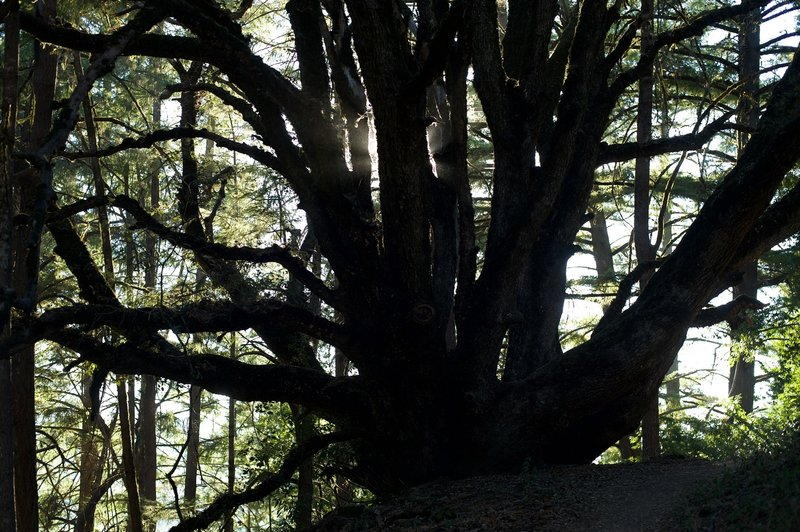 Large oak trees can be seen along the trail as you make your way along the trail.