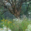 Oak tree, late summer on Savanna Trail.