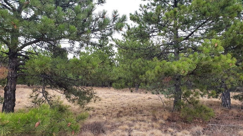 A look at the pine trees while climbing on a wide trail.