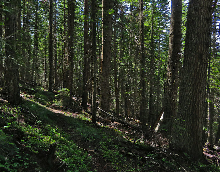 The Twentymile Creek Trail leads through shady forests of Grand Fir.