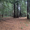 The trail ends in a pine grove at the bottom of the hill.