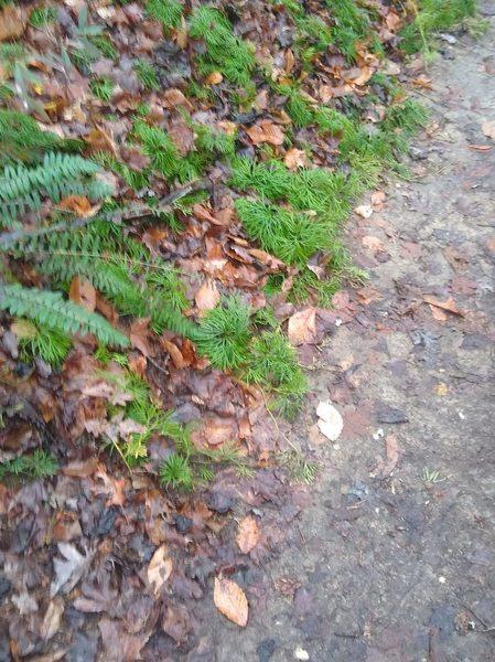 Green Ferns along the trail.