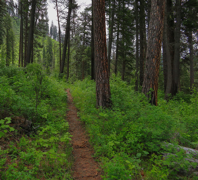 The Snoose Creek Trail leading through a forest of Ponderosa Pines.