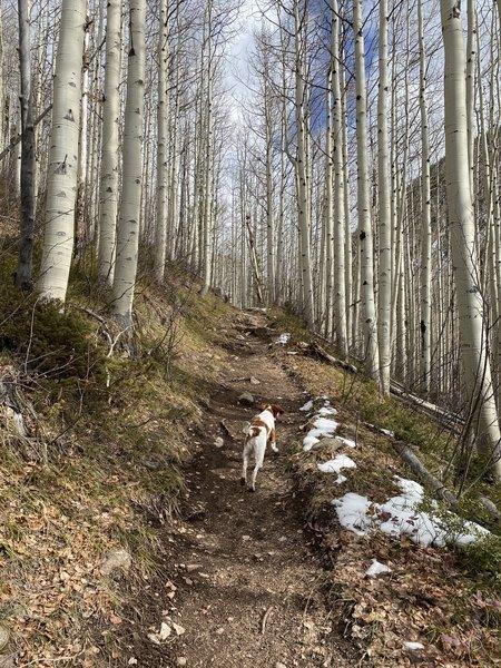 Picturesque trail through aspens.