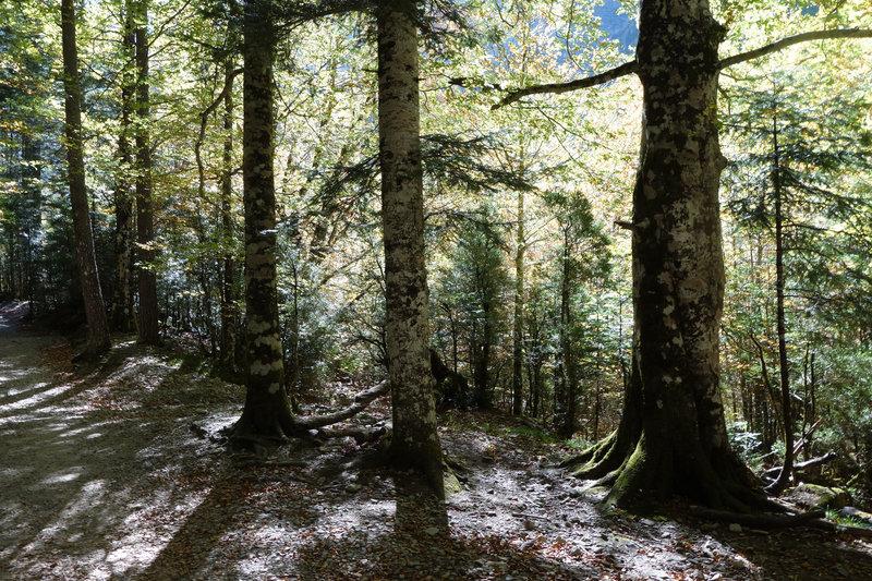Senda a la Cala de Caballo sun dappled beech canopy.
