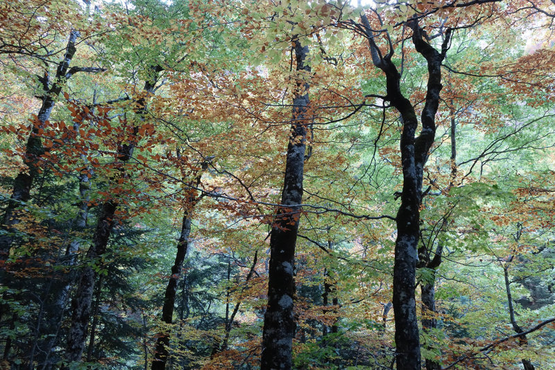 Beech tree canopy in the fall.