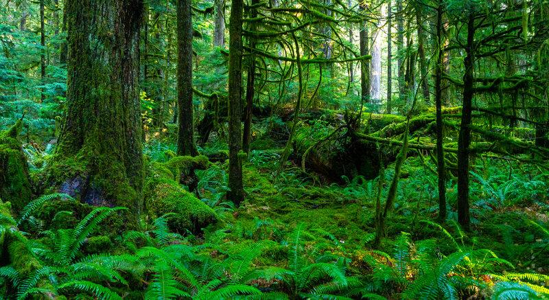 Rainforest near Slate Creek.
