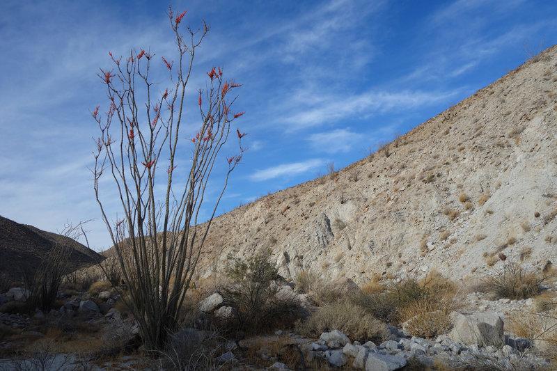 Blooming ocotillo in the Canebrake area of Anza-Borrego.