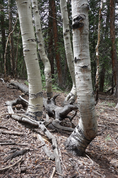 Group of aspen trunks at Great Basin NP