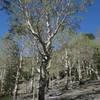 Trees along the Alpine Lake Loop Trail.