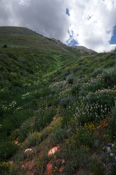 Riot of wildflowers lining a gully above the Mt. Nebo Traverse Trail