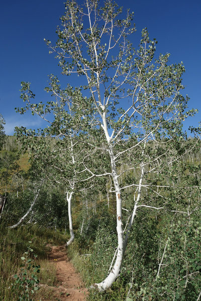 Curved aspens along the Mt. Nebo Bench Trail