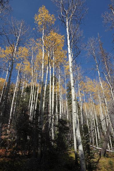 Autumn aspens along the Gavilan Trail on a bluebird day.
