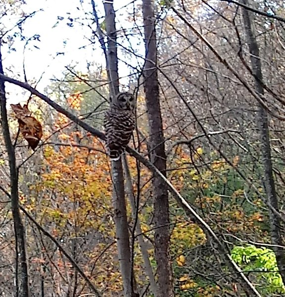 Barred owl on Robertson Mt. Trail, Oct. 2020